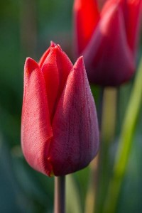tulips by Sarah Raven