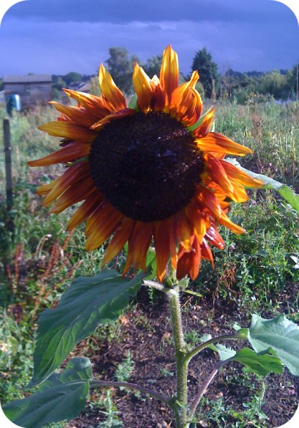 sunflower in the allotment
