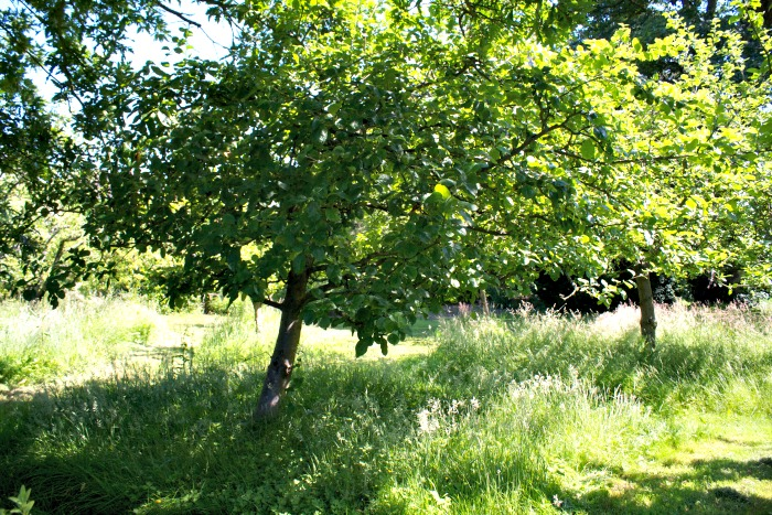 apple trees rufford old hall