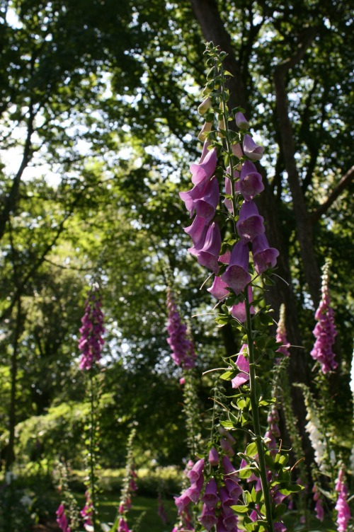 foxgloves rufford old hall lancashire National Trust